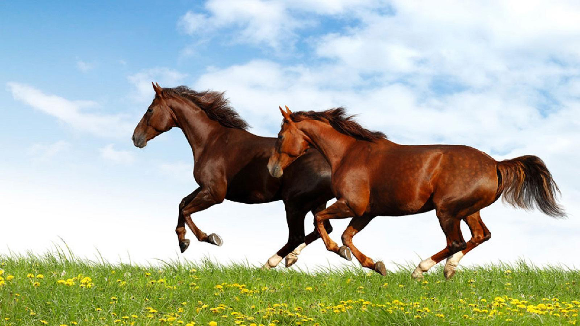 Brown-and-red-horse-running-in-a-field-of-green-grass-desktop-wallpaper-HD